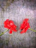 Löst rött väcker Royaltyfria Bilder
