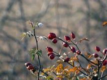 Löst rosa Rosa Canina fryst blad Royaltyfria Foton