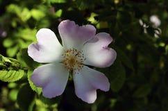 Löst rosa & x28; Rosa Corymbifera & x29; Arkivbilder