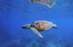 Löst simma för sköldpadda som är undervattens- i det blåa tropiska havet Arkivfoton