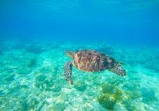 Löst simma för sköldpadda som är undervattens- i det blåa tropiska havet Undervattens- foto med sköldpaddan Fotografering för Bildbyråer