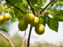 Löst slut som växer upp Gage Plums på träd royaltyfri foto