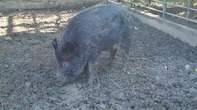 Löst svart äta för svin stock video