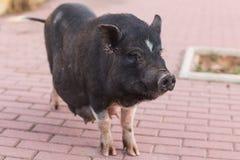 Löst svart nära övre för galt eller för svin Djurliv i naturlig livsmiljö arkivfoto
