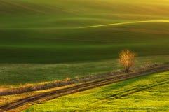 Löst träd mot de bölja fälten Royaltyfri Bild