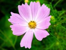 Löst trädgårdkosmos i blom royaltyfri fotografi