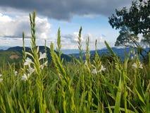 Löst växa för Gladiola blommor i bergen av Guatemala Arkivbilder