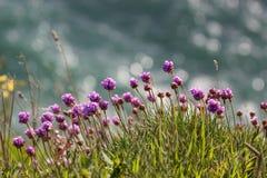 Löst violett växa för blommor på klippan arkivbilder