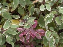 Lövfällande buske för Cornusalbum arkivbild