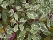 Lövfällande buske för Cornusalbum royaltyfri bild