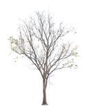 Lövfällande Sakae Naa träd Royaltyfri Fotografi