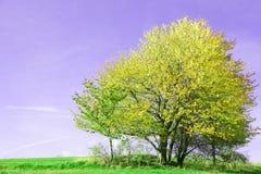 Lövfällande träd på det gröna gräset arkivfoton