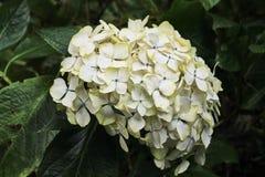 Lövfällande vit vanlig hortensia Royaltyfri Bild