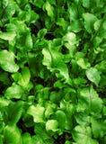 Lövrik grön bakgrund arkivbilder