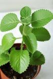 lövrik grön houseplant Royaltyfri Bild