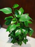Lövrik grön inomhus växt royaltyfria bilder