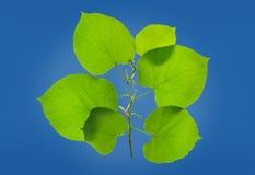Lövrik grön växt Arkivbild