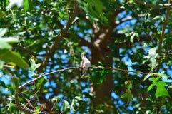 lövrik tree för hummingbird Royaltyfri Fotografi