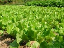 lövrika grönsaker för fält royaltyfria foton