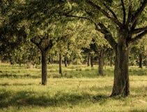 Lövrika träd i fruktträdgård arkivfoton