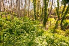 Lövrikt skogsbevuxet område bredvid den Madre del Agua strömmen i Grimaldo arkivbild