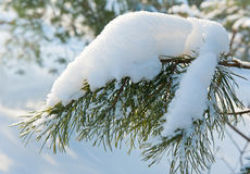 Lövruskan av sörjer trädet med snö Royaltyfria Foton