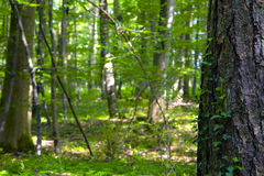 Lövskog Arkivfoto