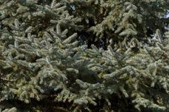 Lövverk av vit gran eller Abies concolor i det Balkan berget Arkivfoton
