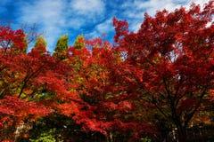 Lövverk för röd lönn, Momiji kyoto Royaltyfria Foton
