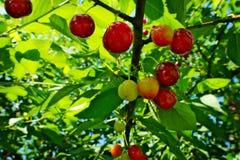 Lövverk och frukter för lös körsbär Prunusaviumträd som kallas gemensamt söt körsbär Royaltyfria Bilder