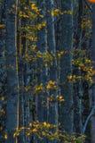 Lövverk och stammar av holms på solnedgången, höst, casentinesiför Royaltyfri Fotografi