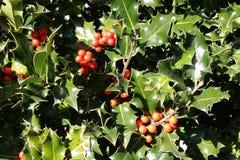 Lövverk och stenfrukt av järnek i vinter royaltyfri fotografi