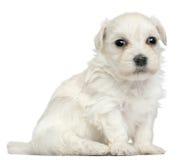 Löwchen ou pequeno filhote de cachorro do leão de Chien, 3 semanas velho Imagens de Stock Royalty Free