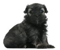 Löwchen ou pequeno filhote de cachorro do leão de Chien, 3 semanas velho Imagens de Stock