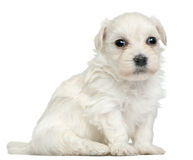 Löwchen or Petit Chien Lion puppy, 3 weeks old Royalty Free Stock Images