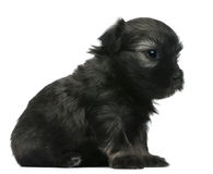 Löwchen of Petit puppy van de Leeuw Chien, 3 weken oud Stock Foto's