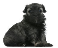 Löwchen of Petit puppy van de Leeuw Chien, 3 weken oud Stock Afbeeldingen