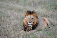 Löwe Lizenzfreie Stockfotografie