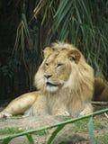 Löwe Stockfotografie