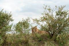Löwe Stockbild