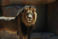 Löwe Stockbilder