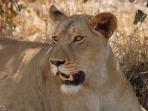 Löwe in Afrika lizenzfreie stockfotos