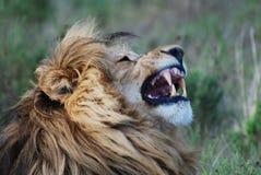 Löwe in Afrika Stockfotos