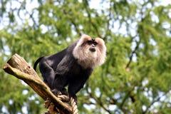 Löwe-angebundener Macaque, überwachend von einem Baumstumpf Stockbild