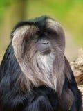 Löwe-angebundener Macaque Stockbilder