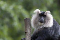 Löwe angebundener Macaque Lizenzfreie Stockbilder