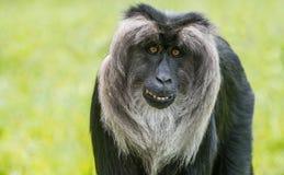 Löwe angebundener Macaque Stockfoto