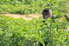 Löwe-angebundener Macaque Stockfotografie