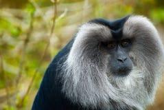 Löwe-angebundener Macaque lizenzfreies stockfoto