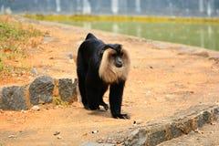 Löwe angebundener Macaque Lizenzfreie Stockfotografie